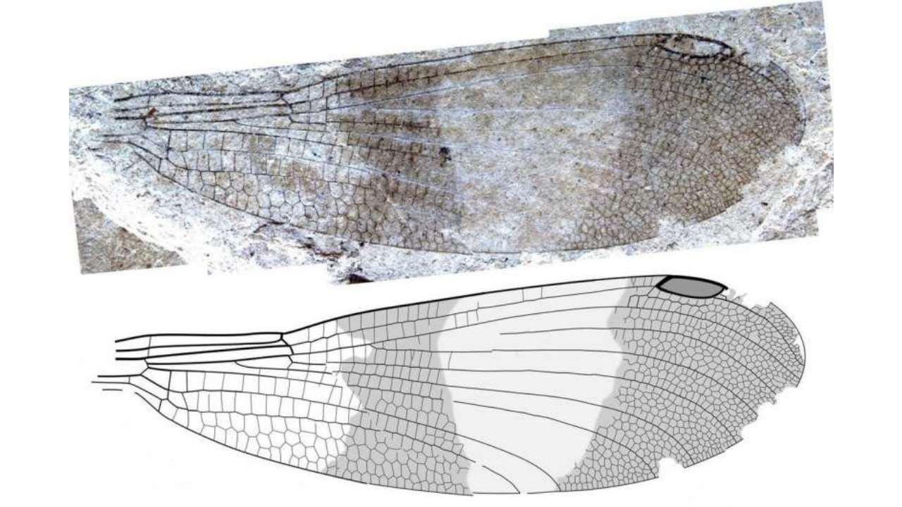 kızböceği başı fosili